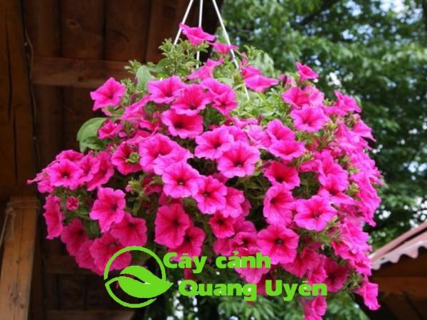 Hoa dạ yến thảo hồng đậm