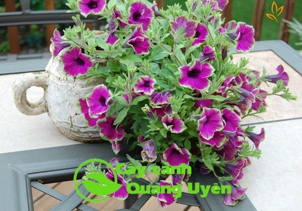 Hoa dạ yến thảm tím