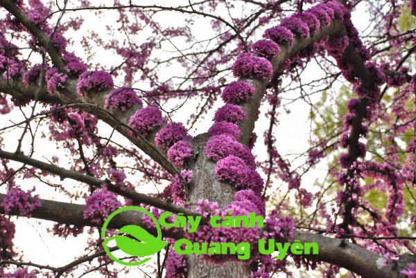 Hoa cây hạnh phúc mọc thành cụm