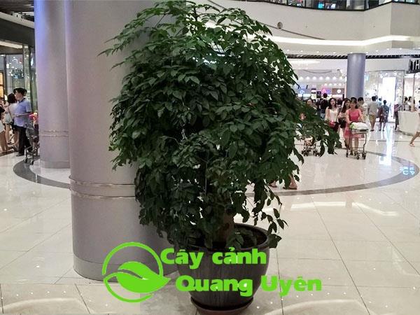 Cây hạnh phúc thuộc cây thân thảo