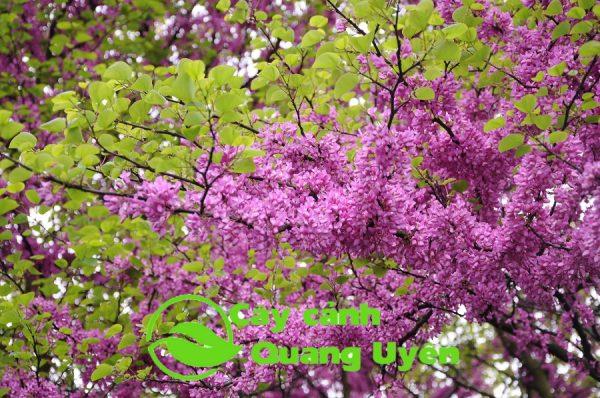 Cây hạnh phúc tên thường gọi là cây gừng kiểng