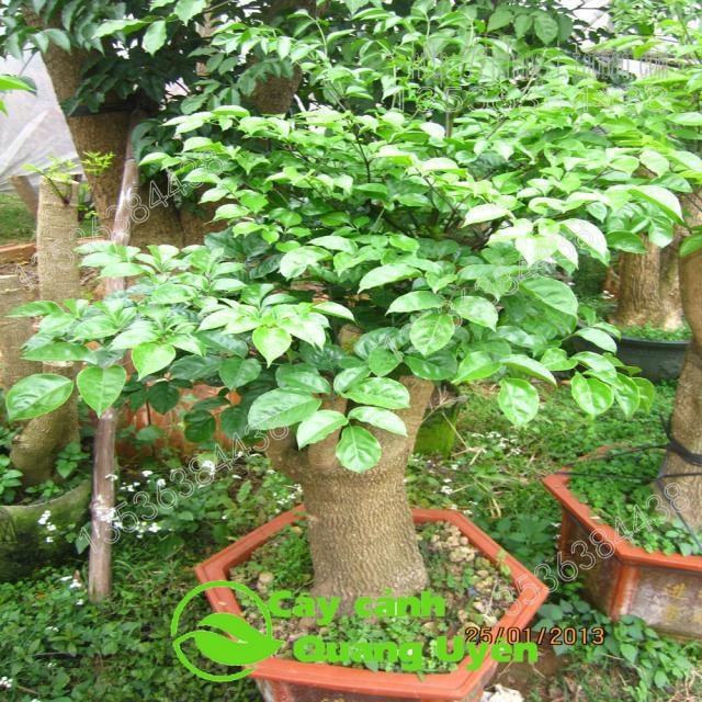 Cây hoa hạnh phúc thân gỗ khỏe mạnh, dễ trồng và chăm sóc
