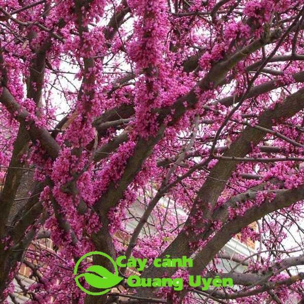 Hoa hạnh phúc màu hồng tím mọc tràn lan trên thân cây