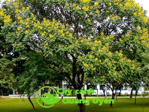 Đặc điểm cây Lim Xẹt