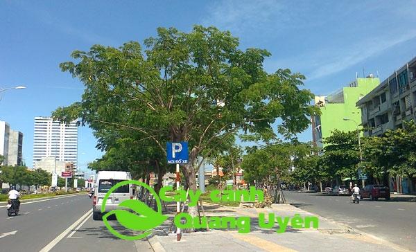 Cây Lim Xẹt thường được chọn làm cây xanh đô thị