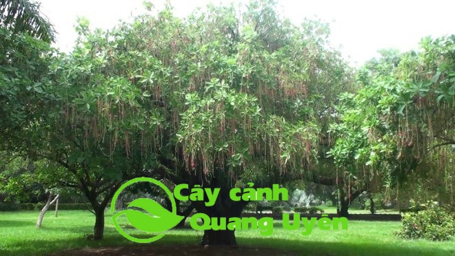 Cây Lộc Vừng là loại cây mang nhiều tài lộc, may mắn
