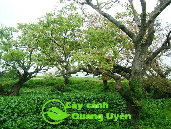 Chiêm ngưỡng vườn cây Lộc Vừng cổ