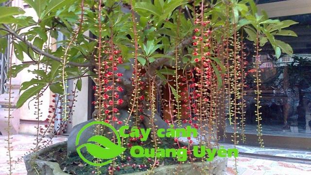 Hoa Lộc Vừng có màu đỏ rực