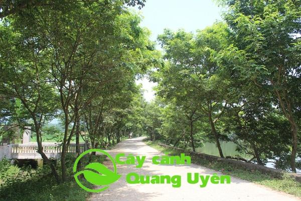 Cây sưa đỏ được trồng trên đường phố, có tán lá phát triển đều, rộng tạo bóng mát