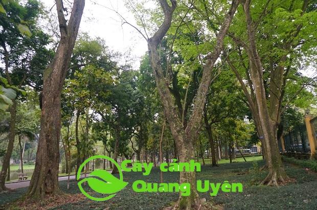 Cây sưa đỏ là cây thân gỗ, rụng lá theo mùa