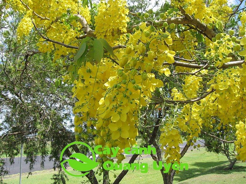 Sắc hoa vàng của cây muồng hoàng yến nở rực góc trời Hà Nội
