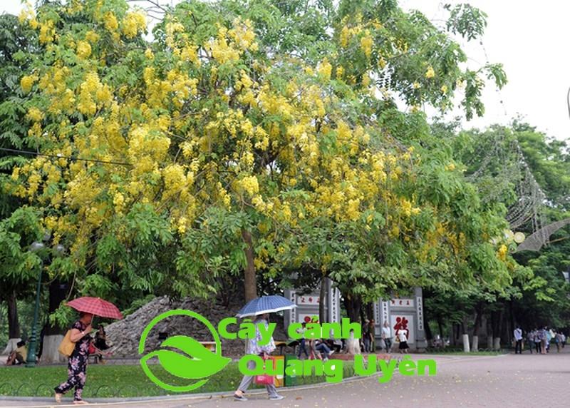 Muồng hoàng yến trồng tại bờ hồ Hoàn Kiếm Hà Nội