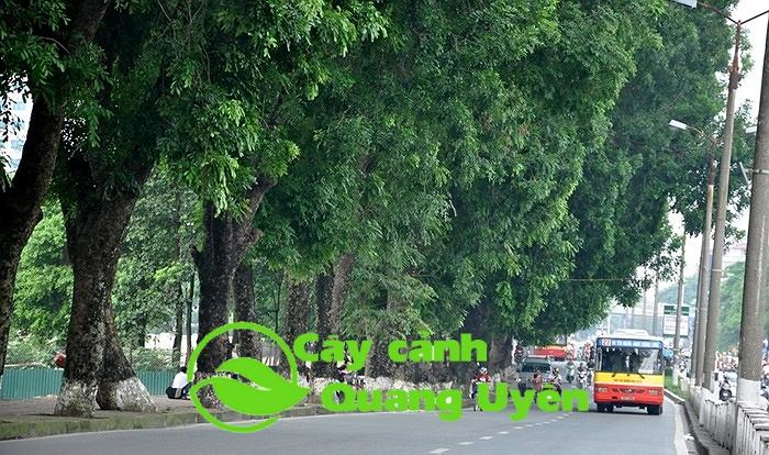 cây xà cừ cao khoảng 30-40m