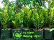 Cây kim phát tài có tên khoa học là Zamioculcas zamiifolia