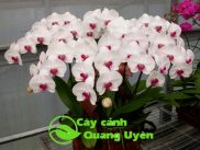 Cây hoa hồ điệp trắng