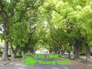 cây xà cừ có tán xòe rộng, nhiều cành lá tạo bóng râm mát
